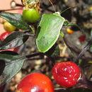 Image of <i>Capsicum frutescens</i>