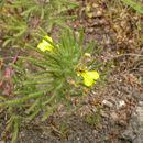Image of Ground-pine