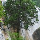Image of <i>Juniperus saltuaria</i> Rehd. & E. H. Wilson