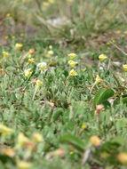Image of cutleaf evening primrose