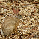 Image of Black-naped Hare