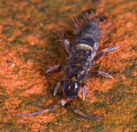 Image of hairy-back girdled springtail