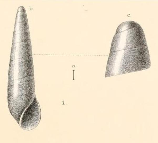 Image of Eulima