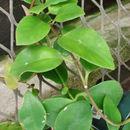 Image of <i>Aeschynanthus pulcher</i> (Blume) G. Don