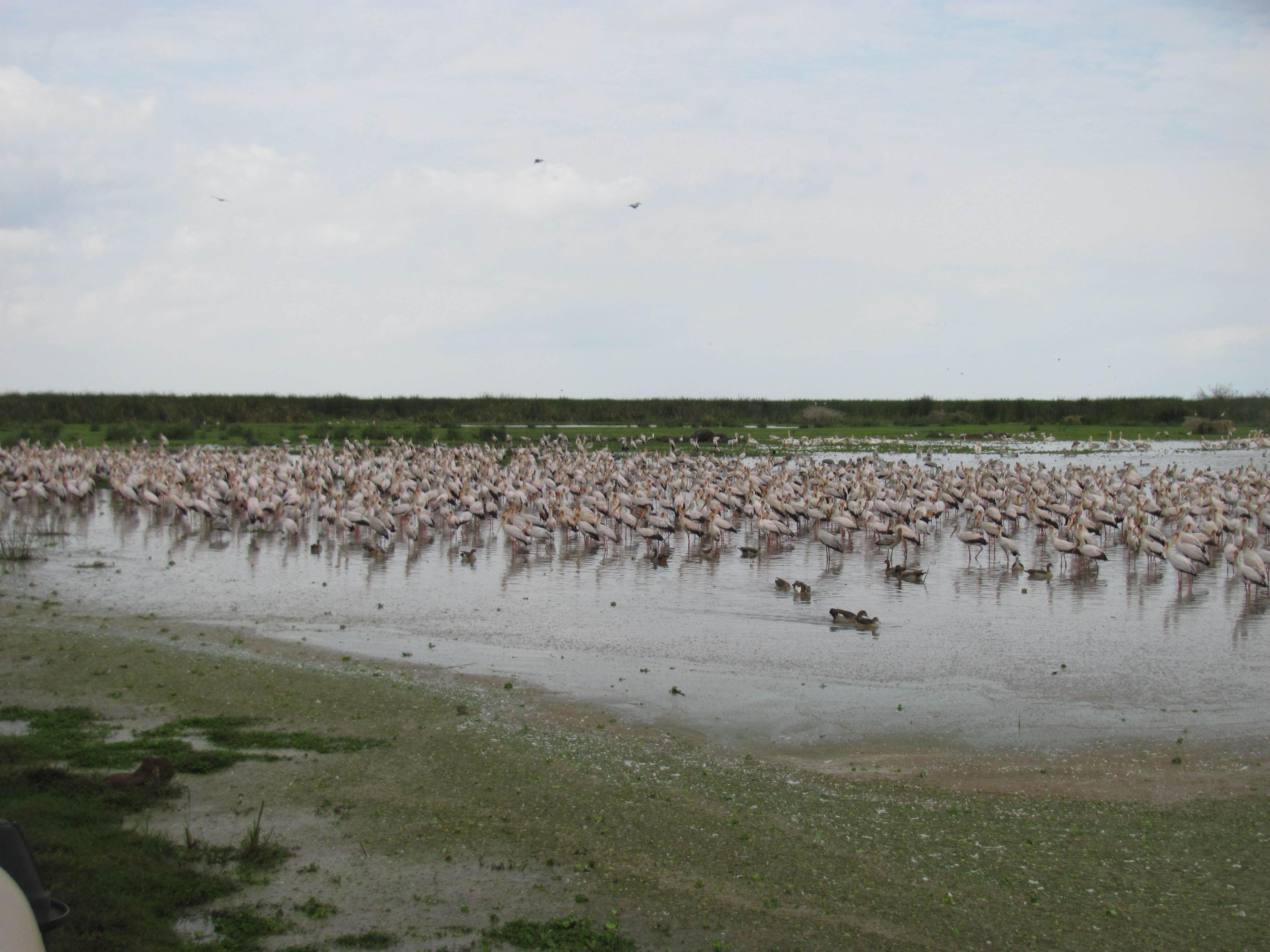 Image of Wood Storks