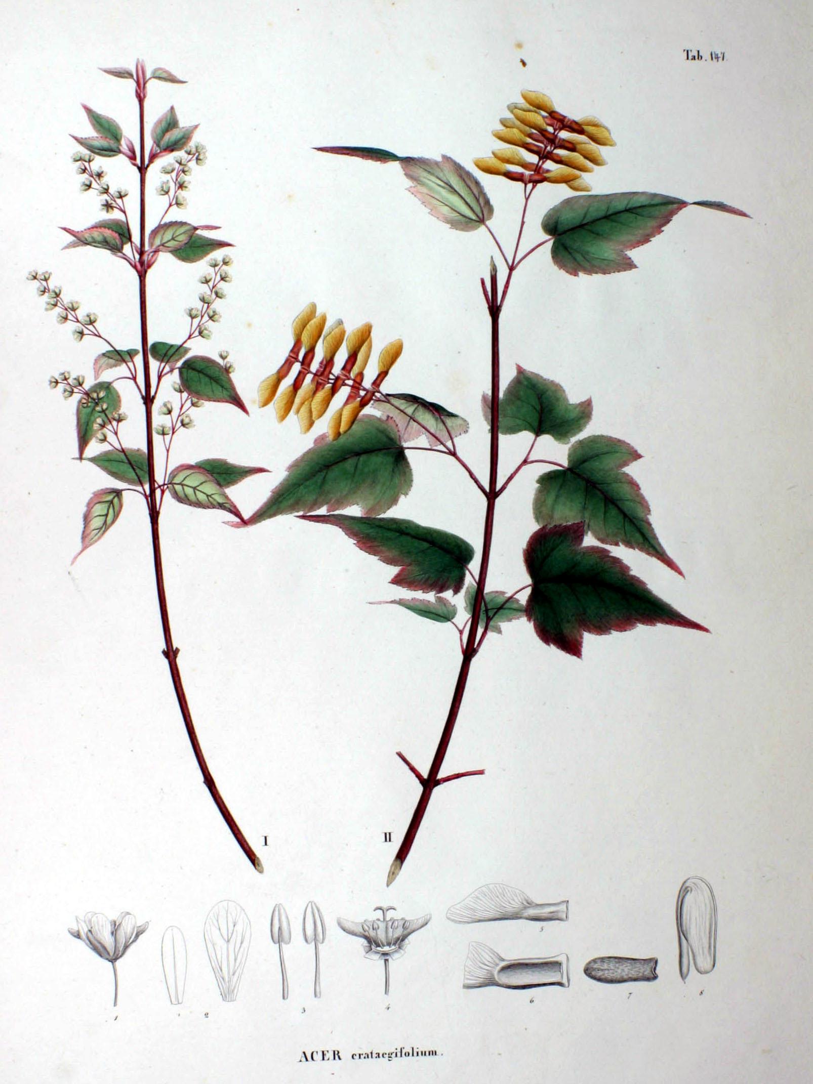 Image of Hawthorn-leaved Maple