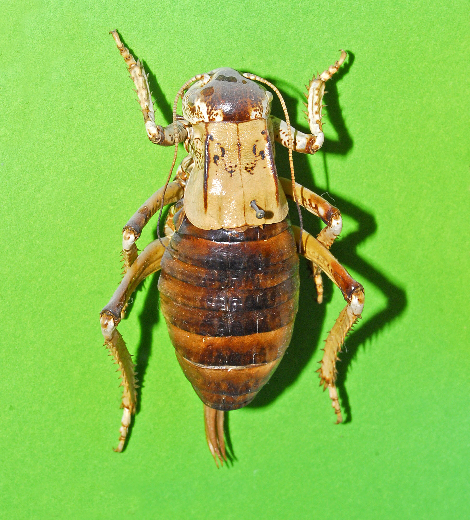 Image of Bradyporus