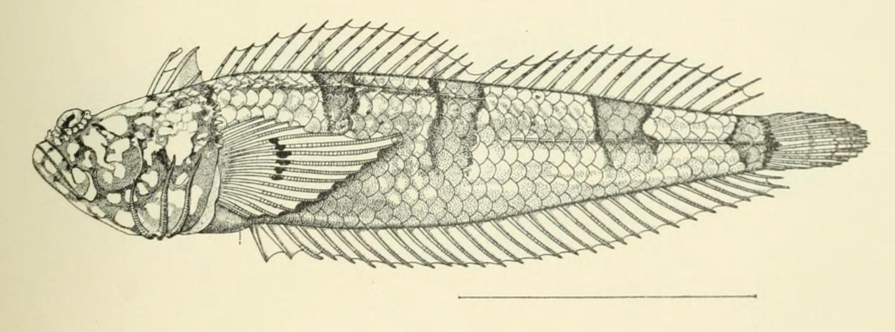 Image of Platygillellus