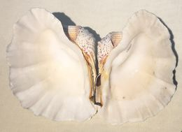 Image of Tridacnidae