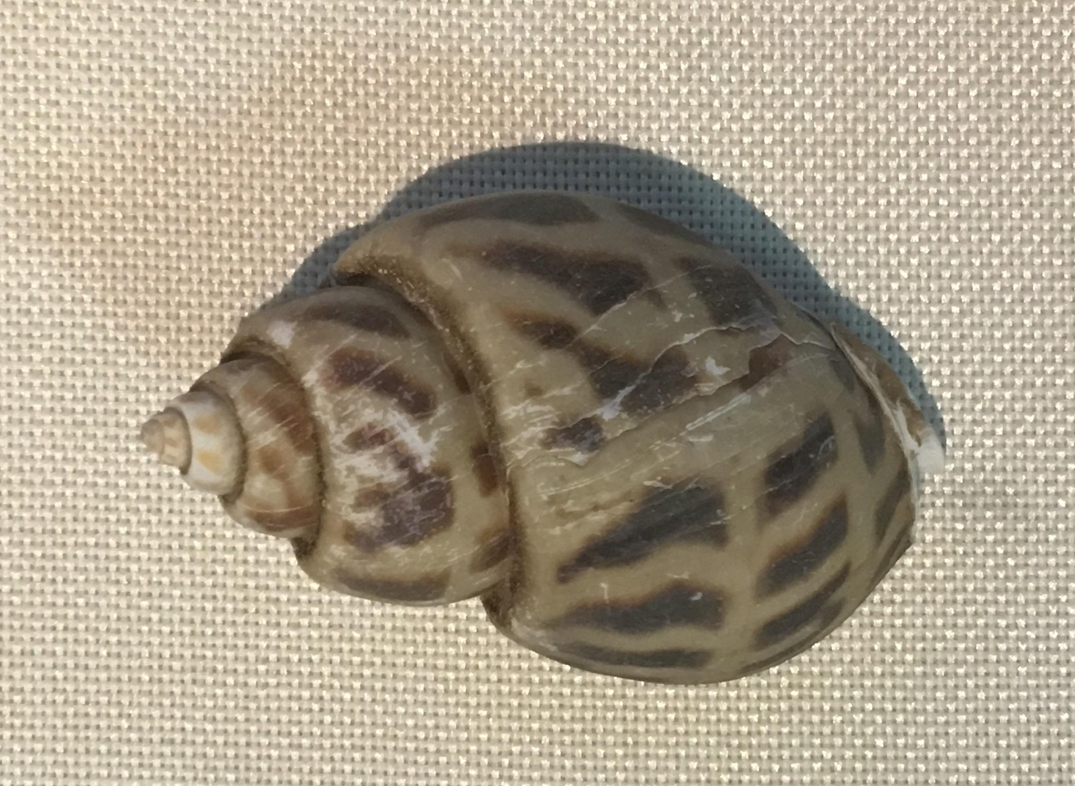 Image of <i>Babylonia areolata</i> (Link 1807)