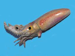 Image of Carol Bobtail Squid