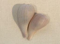 Image of Busse's fig