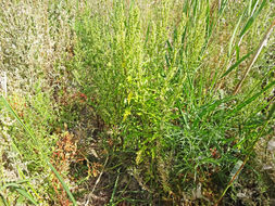 Image of red goosefoot