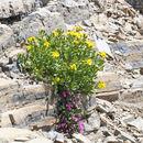 Image of dwarf mountain ragwort