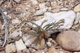 Image of plains flax