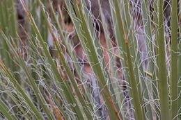 Image of narrowleaf yucca