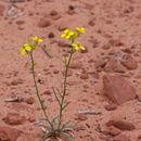 Image of bushy wallflower