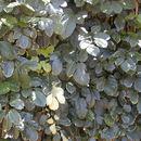 Image of geranium aralia