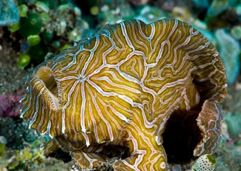 Image of Psychedelic frogfish