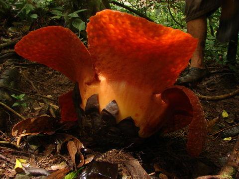 Image of <i>Rafflesia micropylora</i> W. Meijer