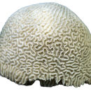 Image of brain coral