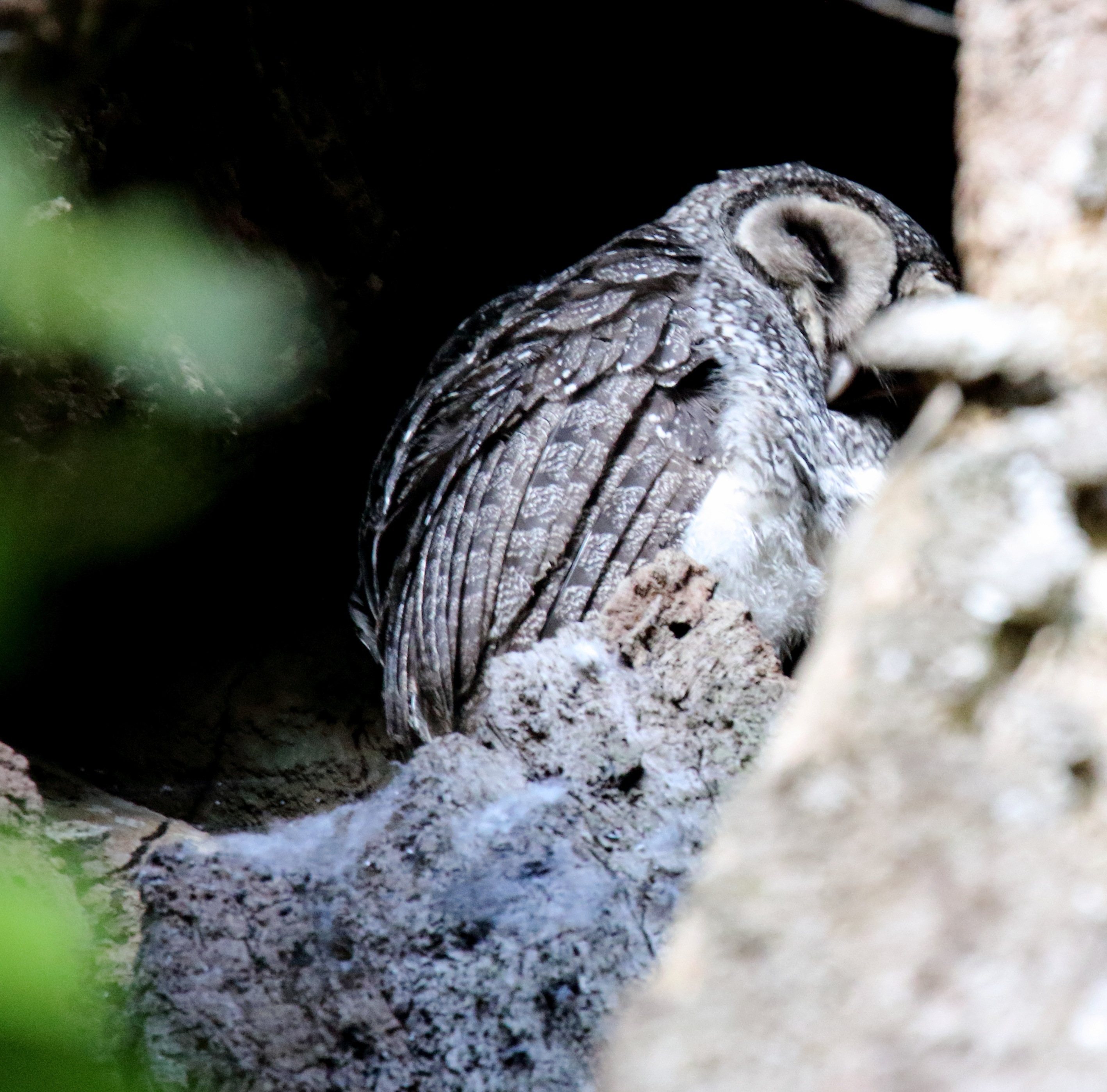 Image of Lesser Sooty Owl