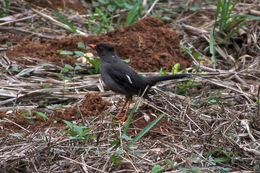 Image of White-chinned Thrush