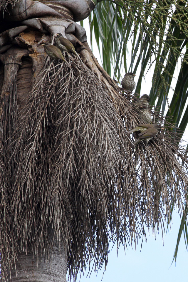 Image of Palmchat