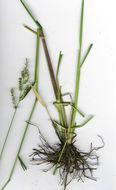 صورة <i>Echinochloa colona</i> (L.) Link