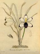 Image of Pescatoria