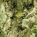 Image of <i>Oxyporus populinus</i> (Schumach.) Donk 1933