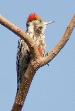 Image of Yellow-crowned Woodpecker