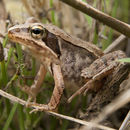 Image of Japanese Brown Frog