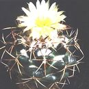 Image of beehive cactus