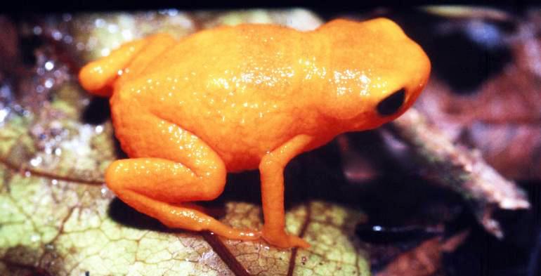 Image of Pumpkin Toadlet