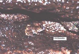 Image of <i>Cycloramphus boraceiensis</i> Heyer 1983