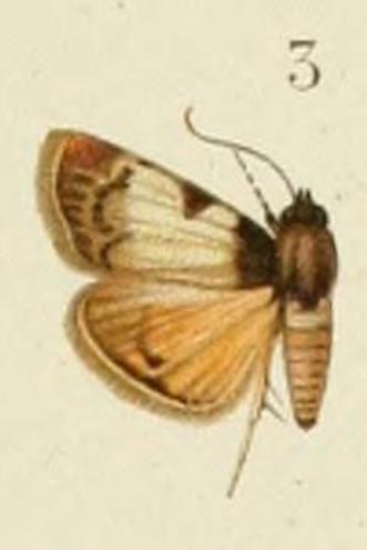 Image of Lepidogma