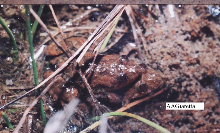 Image of Goias Swamp Frog