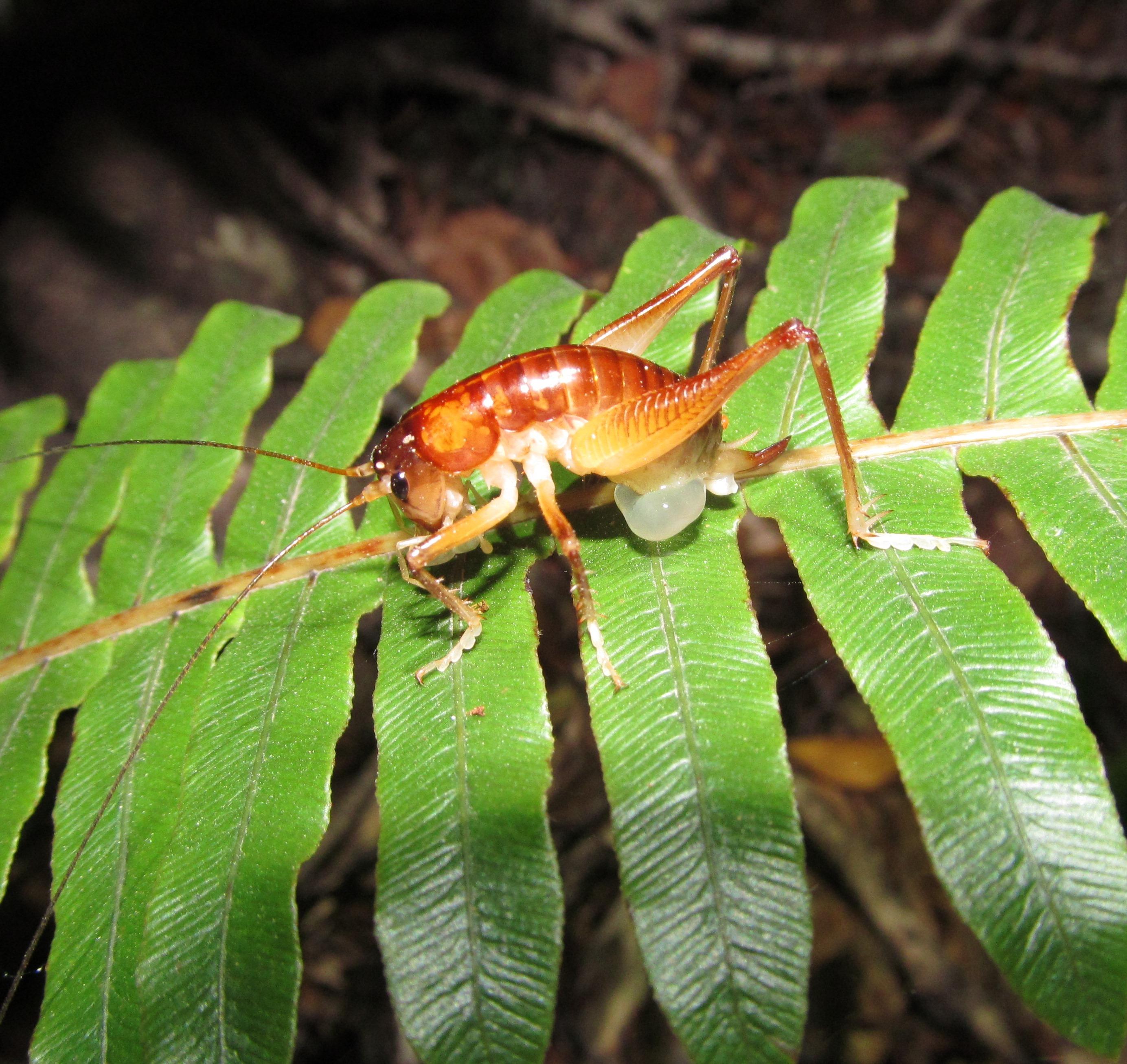 Image of Hemiandrus