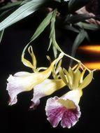 Image of <i>Galeandra batemanii</i> Rolfe