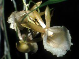 Image of <i>Galeandra lacustris</i> Barb. Rodr.