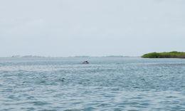 Image of Atlantic Hump-backed Dolphin