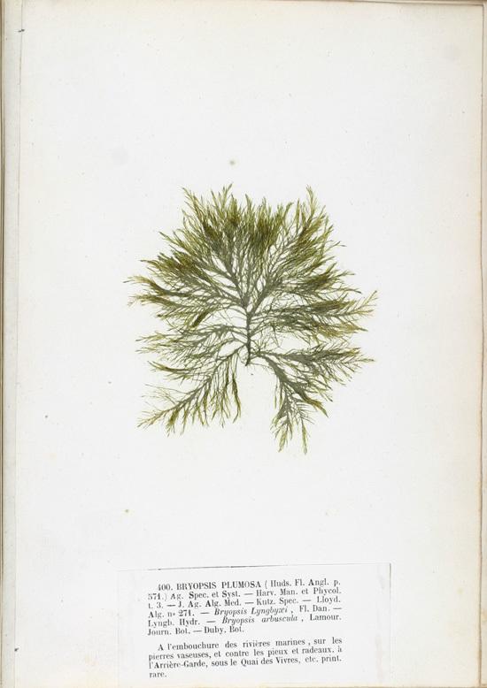 Image of <i>Bryopsis plumosa</i>