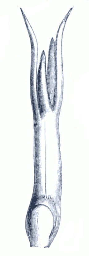 Image of Slender Naiad