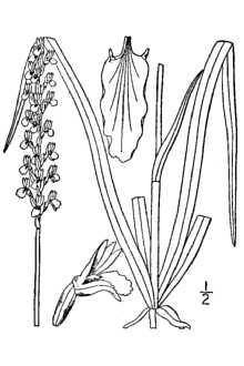 Image of Ladies'-tresses