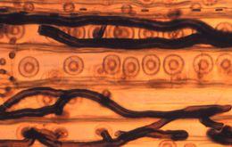 Image of <i>Ophiostoma wageneri</i>