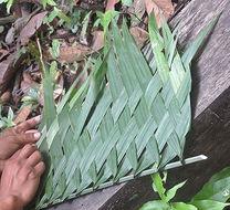 Image of nut palm