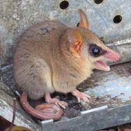 Image of Paraguayan slender mouse opossum
