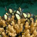 Image of Bluetip Coral
