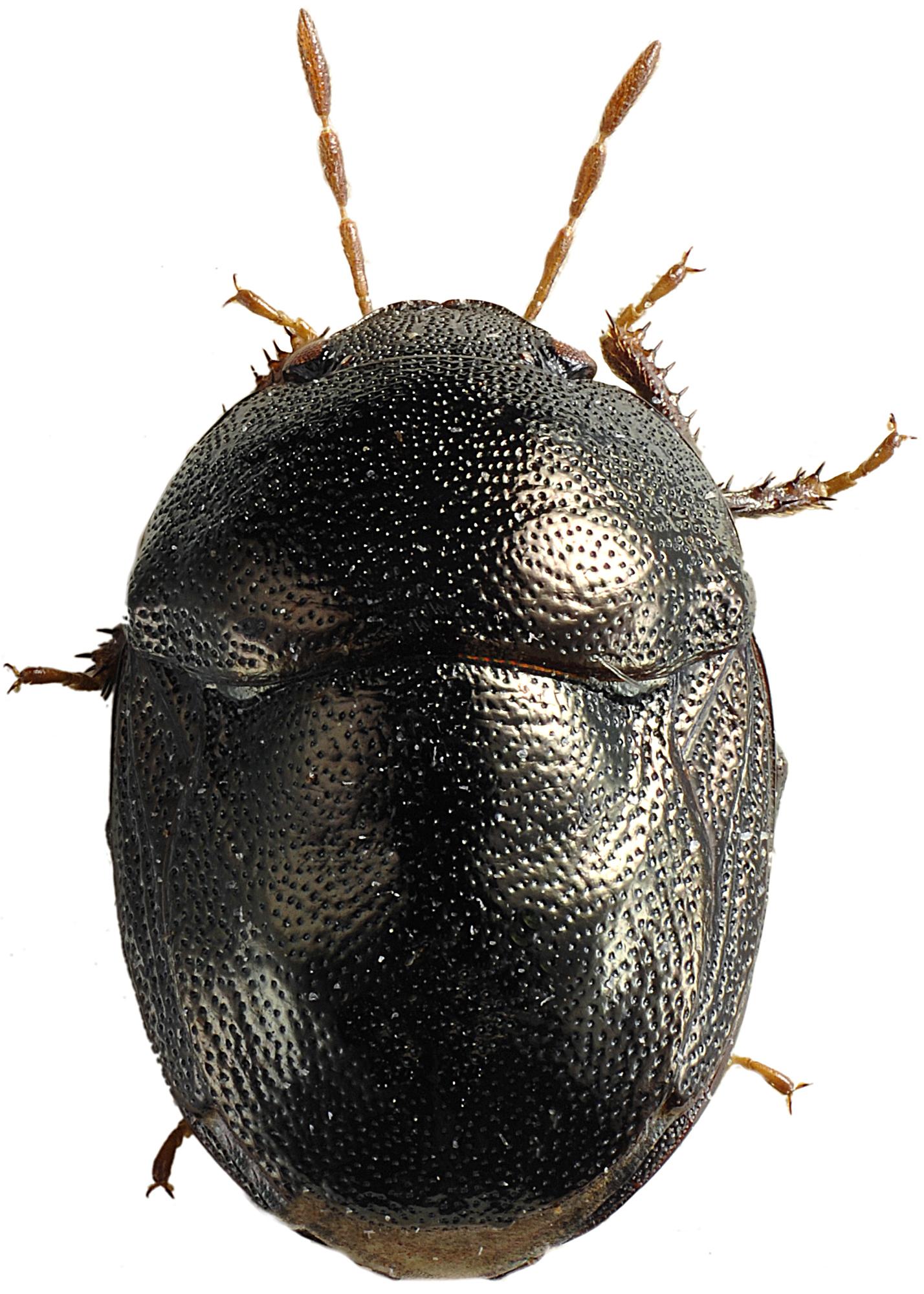 Image of <i>Thyreocoris scarabaeoides</i>